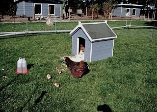Kippenhok-verven