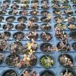 Vaccinium vitis-idaea